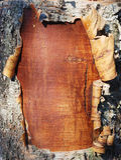 Schors van een berkboom Stock Afbeeldingen
