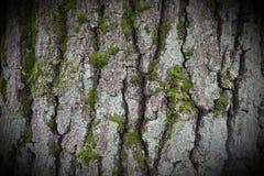 Schors van een beukboom Stock Fotografie