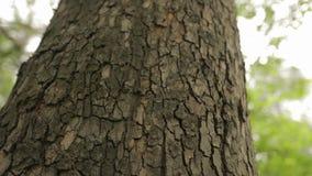 Schors van een boom dichte omhooggaande, indrukwekkende mooie schors van een boom, schors van een eik stock footage