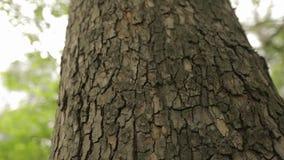 Schors van een boom dichte omhooggaande, indrukwekkende mooie schors van een boom, schors van een esdoorn stock videobeelden