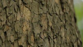 Schors van een boom dichte omhooggaande, indrukwekkende mooie schors van een boom, schors van een esdoorn stock footage