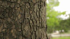 Schors van een boom dichte omhooggaande, indrukwekkende mooie schors van een boom, schors van een esdoorn stock video