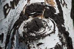 Schors van een boompopulier met beelden stock afbeelding