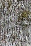 Schors van een eiken boom Stock Foto