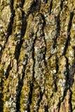 Schors van een Engelse eiken, Gemeenschappelijke eik, Quercus robur, Quercus pendunculata, met korstmossen en mossen stock afbeelding