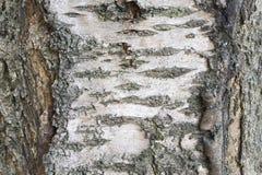 Schors van een kersenboom Stock Foto