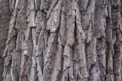 Schors van eik van vele jaren Natuurlijke achtergrond Stock Afbeeldingen