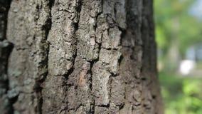 Schors van eiken boom stock video