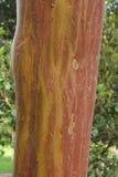 Schors van Griekse aardbeiboom & x28; Arbutus andrachne& x29; Stock Foto