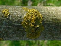 Schors van jonge okkernoot in de Krim stock foto