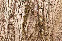 Schors van okkernootboom royalty-vrije stock foto's