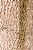 Schors van okkernootboom stock foto