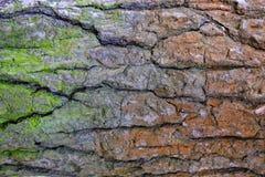Schors van oude boom met groen en rood mos Royalty-vrije Stock Afbeeldingen