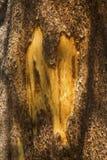 Schors van pijnboomboom met litteken van geweitak die, Yellowstone wrijven royalty-vrije stock afbeeldingen