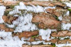 Schors van pijnboomboom met sneeuwtextuur die wordt behandeld Stock Afbeeldingen