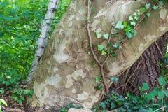 Schors van Platanus-hybrida - Platanus-acerifolia Stock Foto