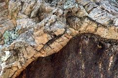Schorsdwarsdoorsnede van gedeeltelijk gestripte cork eik royalty-vrije stock afbeeldingen