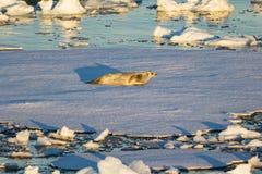 Schort een krab-Eter Verbinding op een ijs op royalty-vrije stock fotografie