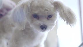 Schosshundeporträt stock video
