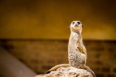 Schot van het Meerkat het Volledige Lichaam Stock Fotografie