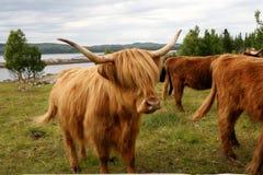 Schots Hooglandvee op weiland royalty-vrije stock afbeeldingen