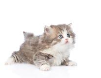Schots katje die weg en omhoog eruit zien Geïsoleerdj op witte achtergrond Stock Afbeeldingen
