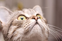 Schots-rechte grijze kat stock foto