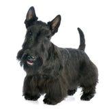 Schots Terrier royalty-vrije stock afbeelding