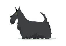 Schots Terrier, Aberdeen Terrier, Scottie Breed Stock Afbeeldingen