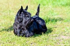Schots Terrier ziet eruit Stock Foto