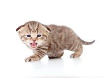Schots vouwen mauwend katje op wit royalty-vrije stock afbeeldingen
