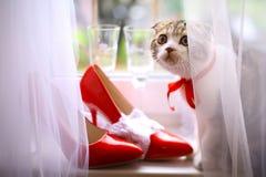 Schots vouwenkatje met bruids rode schoenen en wijnglazen op vensterbank Royalty-vrije Stock Foto