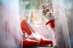 Schots vouwenkatje met bruids rode schoenen en wijnglazen op venstervensterbank Royalty-vrije Stock Foto's