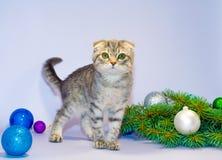 Schots vouwenkatje met groene ogen dichtbij een tak van een Christma Stock Fotografie