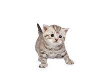 Schots-vouwenkatje op wit Stock Foto's