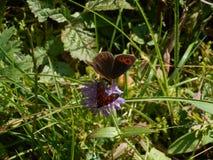 Schotse argus-vlinder in de weide royalty-vrije stock foto's
