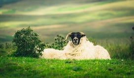 Schotse Blackface-schapen die camera bekijken Royalty-vrije Stock Foto's