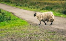 Schotse Blackface-schapen die weg kruisen Royalty-vrije Stock Fotografie