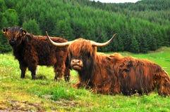 Schotse buffels, Hooglander royalty-vrije stock afbeeldingen