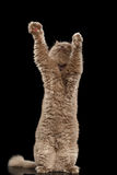 Schotse Cat Standing op Hind Legs Reaching Paw royalty-vrije stock foto's