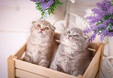 Schotse in de lade zitten en katjes die omhoog eruit zien Stock Afbeelding