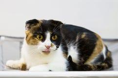 Schotse de vouwenschildpad van het kattenras Royalty-vrije Stock Afbeelding