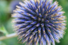 Schotse Distel Stock Foto