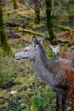 Schotse herten Stock Foto