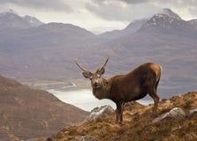 Schotse hooglanden, wild mannetje Royalty-vrije Stock Afbeeldingen