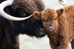 Schotse Hooglander,高地母牛 免版税库存图片