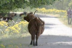 Schotse Hooglander stock afbeeldingen