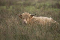 Schotse Hooglander, Bos taurus royalty-vrije stock afbeelding