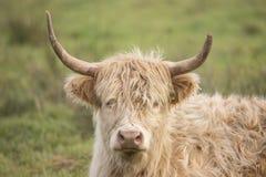 Schotse Hooglander, Bos taurus royalty-vrije stock foto's