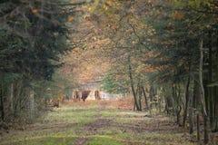 Schotse Hooglander, Bos taurus stock foto